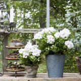 GERANIO MANIA. come valorizzare casa e giardino con il giusto tocco green.