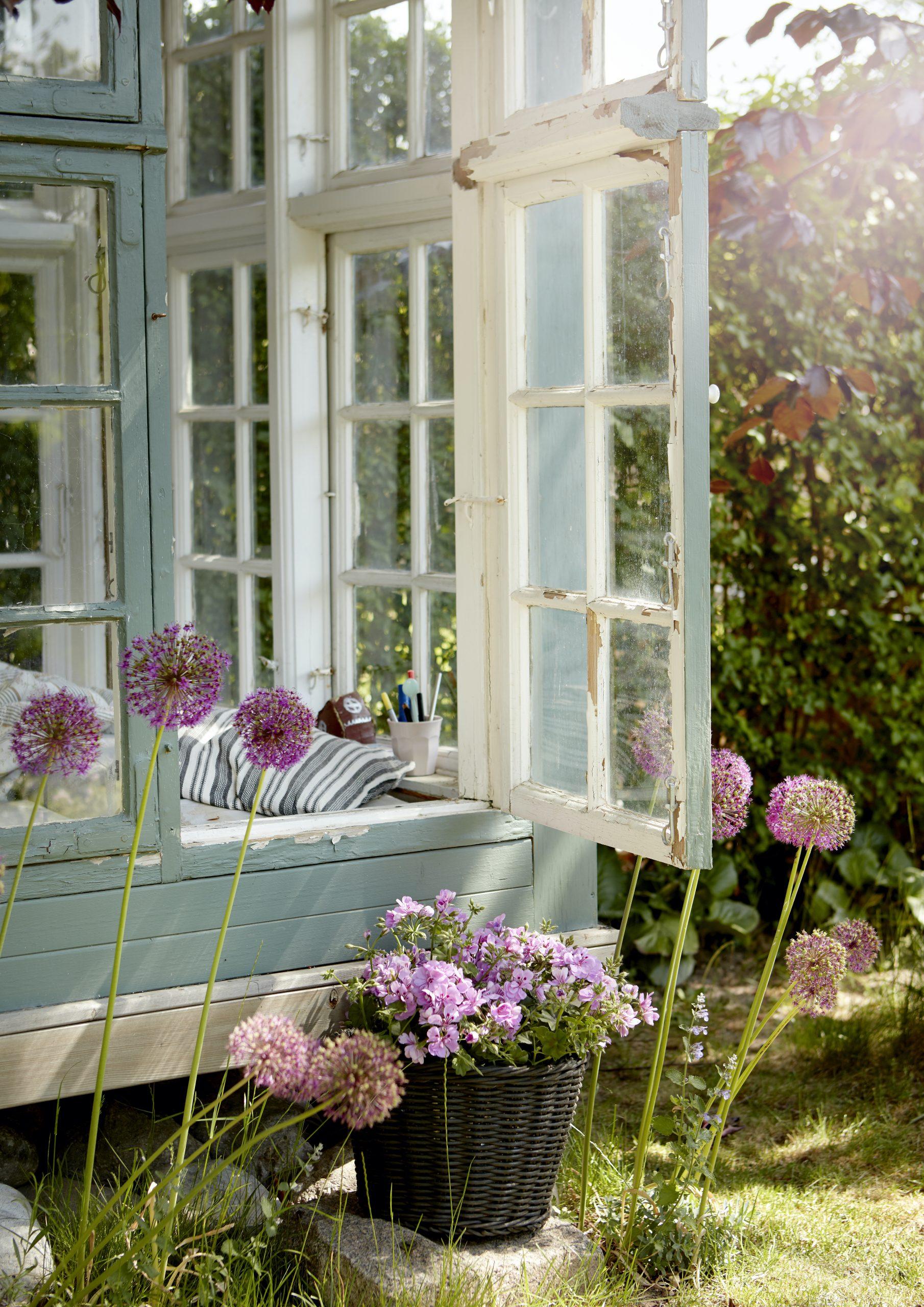 gerani in giardino